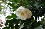 Descanso's Camellias (10)