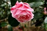 Descanso's Camellias (11)