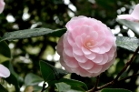 Descanso's Camellias (12)