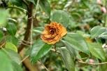 Descanso's Camellias (13)
