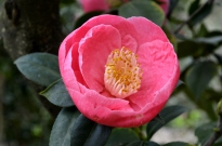 Descanso's Camellias (3)