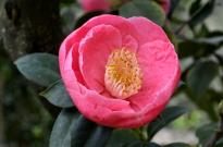 Descanso's Camellias (3)