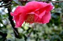 Descanso's Camellias (4)
