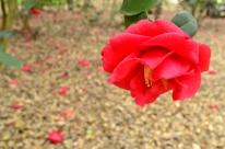 Descanso's Camellias (5)