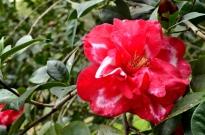 Descanso's Camellias (7)