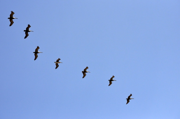 Seven Pelicans Gliding