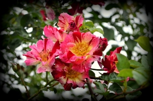 From the Rose Garden