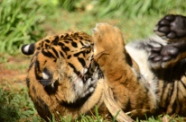 Tiger cub was playing with a bone.