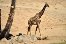 san-diego-zoo-safari-park-6