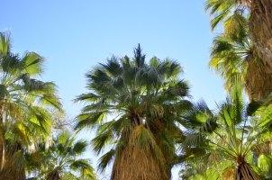 desert-palms-4