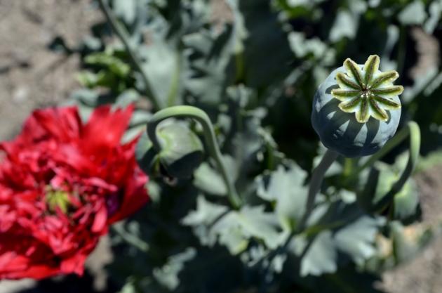 poppy-pod