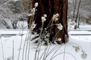 snow-tips