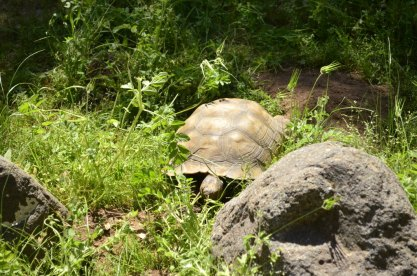 Henry the Desert Tortoise (1)