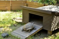 Henry the Desert Tortoise (4)