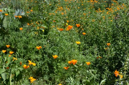 Poppies at Fullerton Arboretum (1)