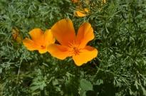 Poppies at Fullerton Arboretum (3)