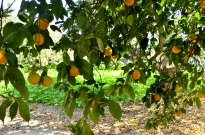 Origin of Oranges (2)
