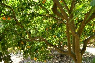 Origin of Oranges (4)
