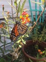 Pretty Orange in my Garden (1)