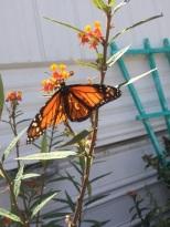 Pretty Orange in my Garden (2)