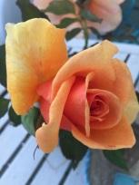 Pretty Orange in my Garden (4)
