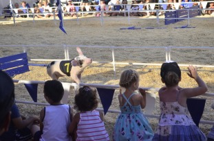 Racing Pigs at the Fair (10)