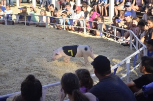 Racing Pigs at the Fair (11)