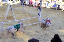 Racing Pigs at the Fair (2)