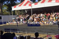 Racing Pigs at the Fair (6)