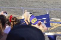 Racing Pigs at the Fair (8)