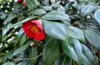 Beautiful red camellia
