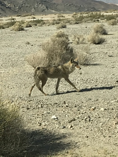 Coyote and French Fries (1)