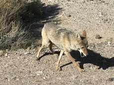 Coyote and French Fries (2)