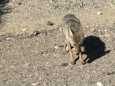 Coyote and French Fries (4)