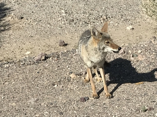 Coyote and French Fries (5)