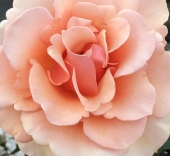 One of the gorgeous roses from my front yard