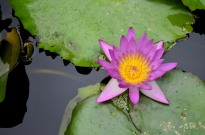 Lily Pond at Sherman Gardens (2)