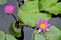 Lily Pond at Sherman Gardens (3)