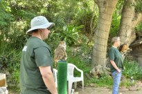 Volunteer handler with Tumbleweed, a great horned owl