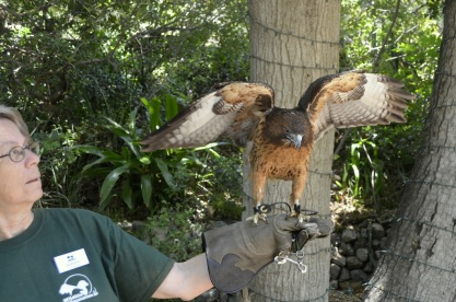 Agent 1207, red-tailed hawk