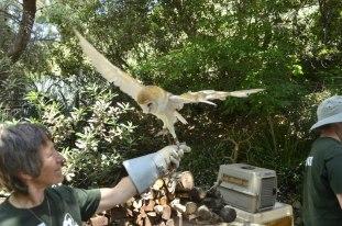 Barnee the barn owl