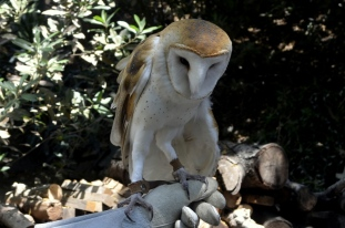 Barnee the barn owl