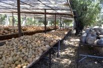 Gourds ~