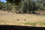 Club meeting of turkey vultures