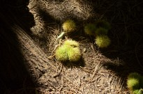 Chestnut seed pods