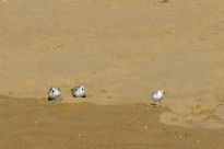Birds On The Beach (3)
