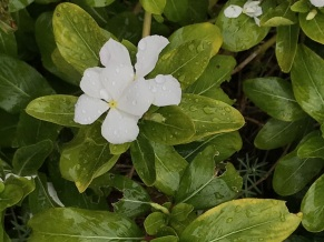 White vinca plant that spreads
