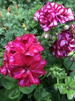 Another bold and beautiful geranium