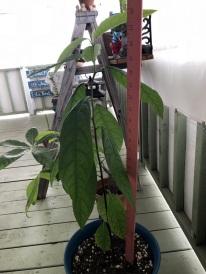 Avocado and Zucchini Update (1)