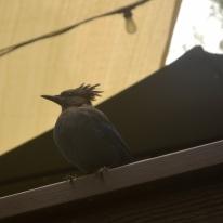 Jays at Cold Spring Tavern (1)